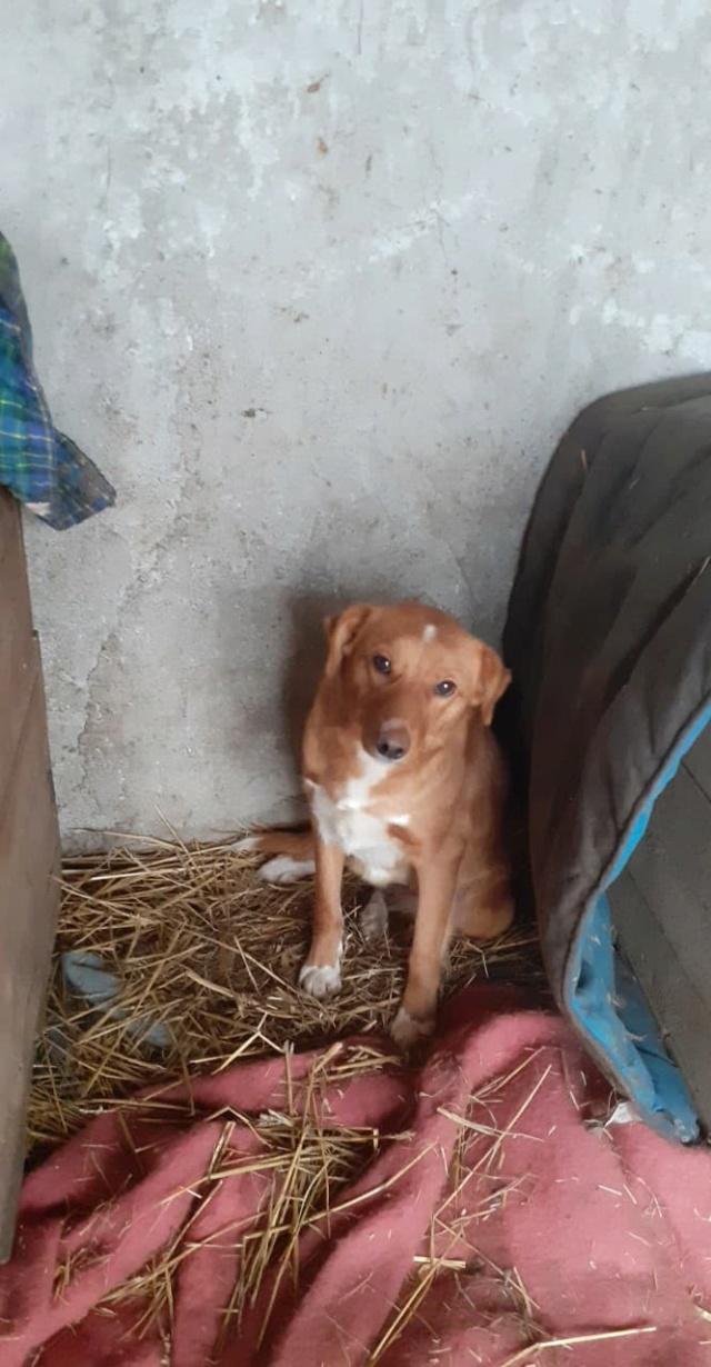 GRAZZIA - femelle née en 2019 - Trouvée errante dans le champs en face du refuge en Décembre 2020-R- 13751010