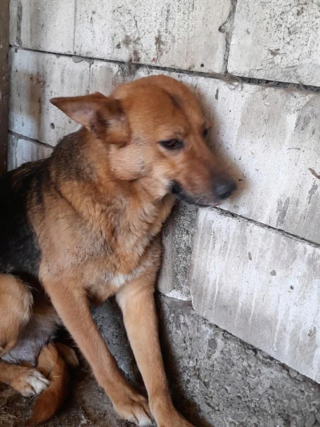 NEBBIA, type berger, née en 2013, récupérée chez un particulier avec sa fille LISSY - parrainée par Mirko78-R-SC 18333610