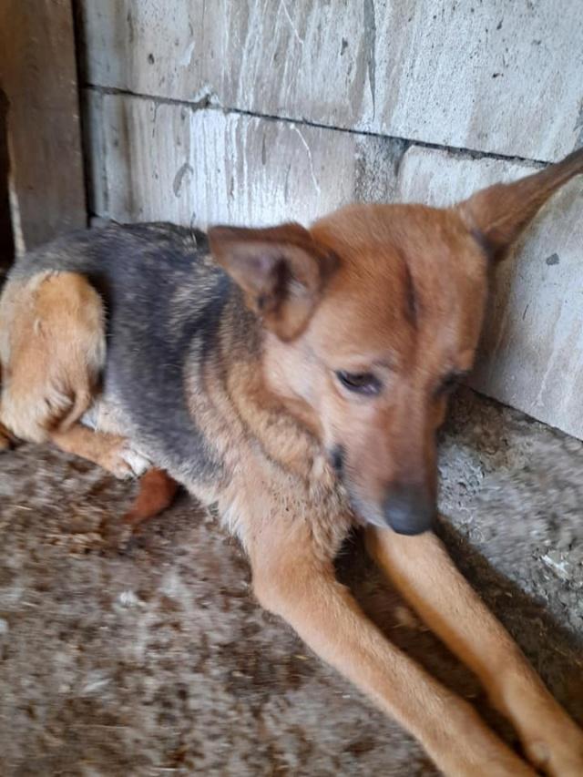 NEBBIA, type berger, née en 2013, récupérée chez un particulier avec sa fille LISSY - parrainée par Mirko78-R-SC 18497310