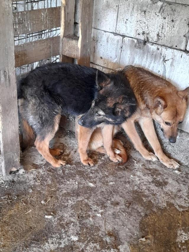 NEBBIA, type berger, née en 2013, récupérée chez un particulier avec sa fille LISSY - parrainée par Mirko78-R-SC 18503010