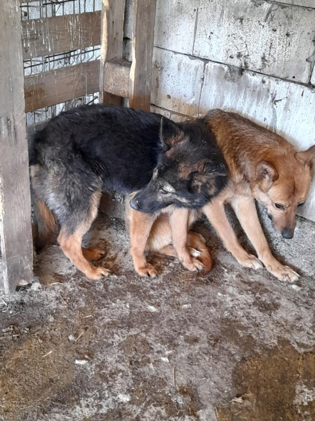 NEBBIA, type berger, née en 2013, récupérée chez un particulier avec sa fille LISSY - parrainée par Mirko78-R-SC 18503011