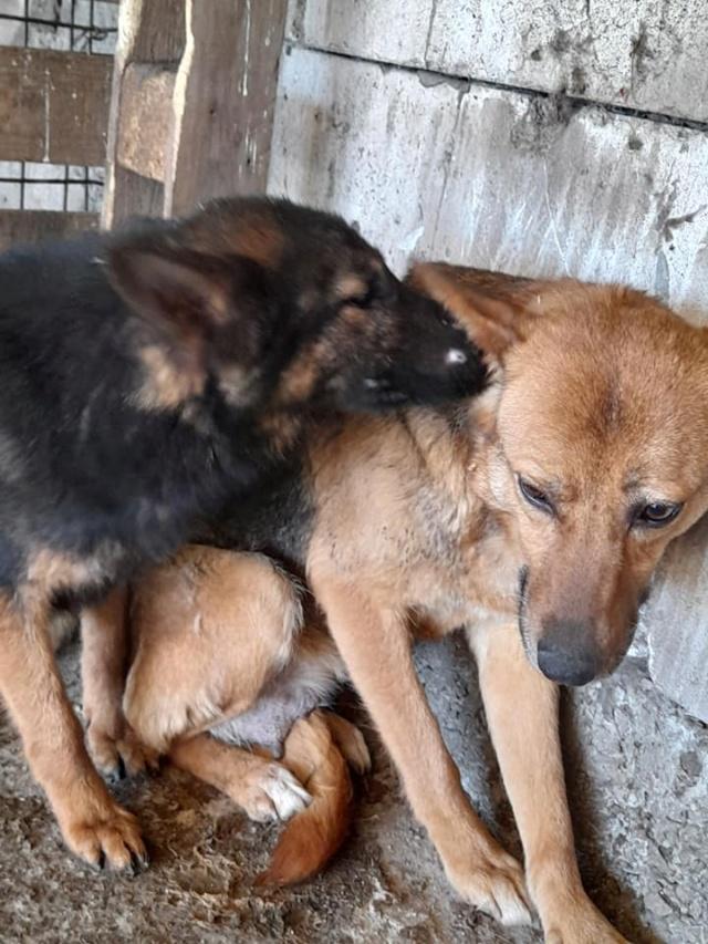 NEBBIA, type berger, née en 2013, récupérée chez un particulier avec sa fille LISSY - parrainée par Mirko78-R-SC 18508110
