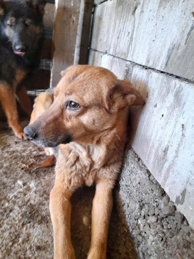 NEBBIA, type berger, née en 2013, récupérée chez un particulier avec sa fille LISSY - parrainée par Mirko78-R-SC 18527911