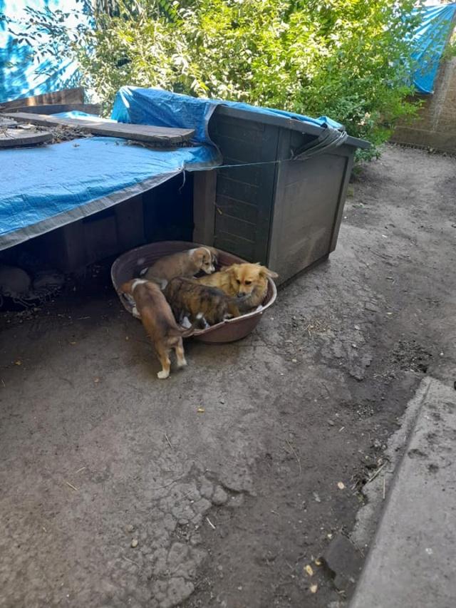 LALI, née en 2019, maman et ses 4 chiots trouvés près du refuge- parrainée par Claire93 -R- SC 23464410