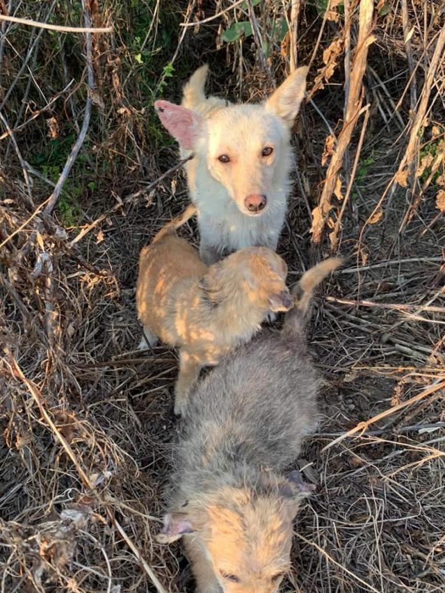 Timaya, née en 2019, Maman et ses 3 chiots attrapés au bord de la route - Parrainée par Jeena - EN GARDE EXTERIEURE-R-SC 24065910