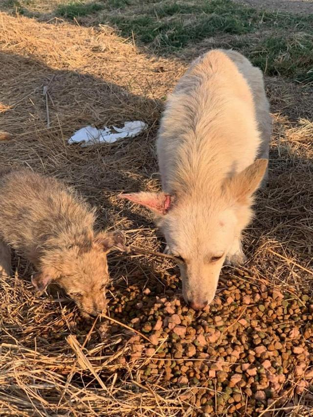 Timaya, née en 2019, Maman et ses 3 chiots attrapés au bord de la route - Parrainée par Jeena - EN GARDE EXTERIEURE-R-SC 24066910