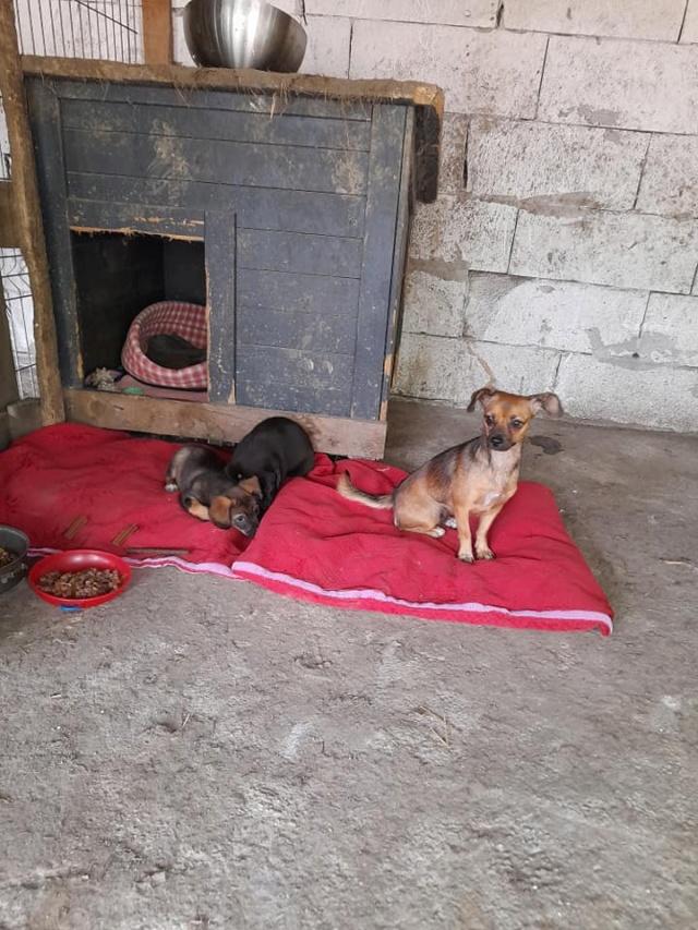 ZIYA, maman , née en 2019 et ses 2 chiots âgés de 2 mois, abandonnés par un particulier-R-SC 24078410