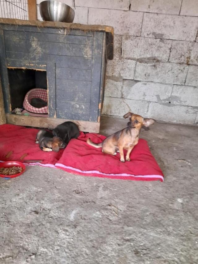 ZIYA, maman , née en 2019 et ses 2 chiots âgés de 2 mois, abandonnés par un particulier-R-SC 24086310