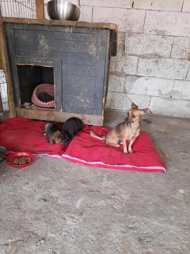 ZIYA, maman , née en 2019 et ses 2 chiots âgés de 2 mois, abandonnés par un particulier-R-SC 24098711