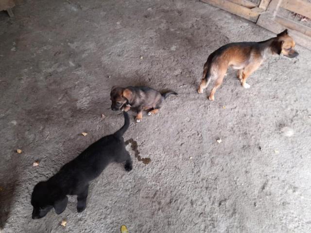 ZIYA, maman , née en 2019 et ses 2 chiots âgés de 2 mois, abandonnés par un particulier-R-SC 24099910