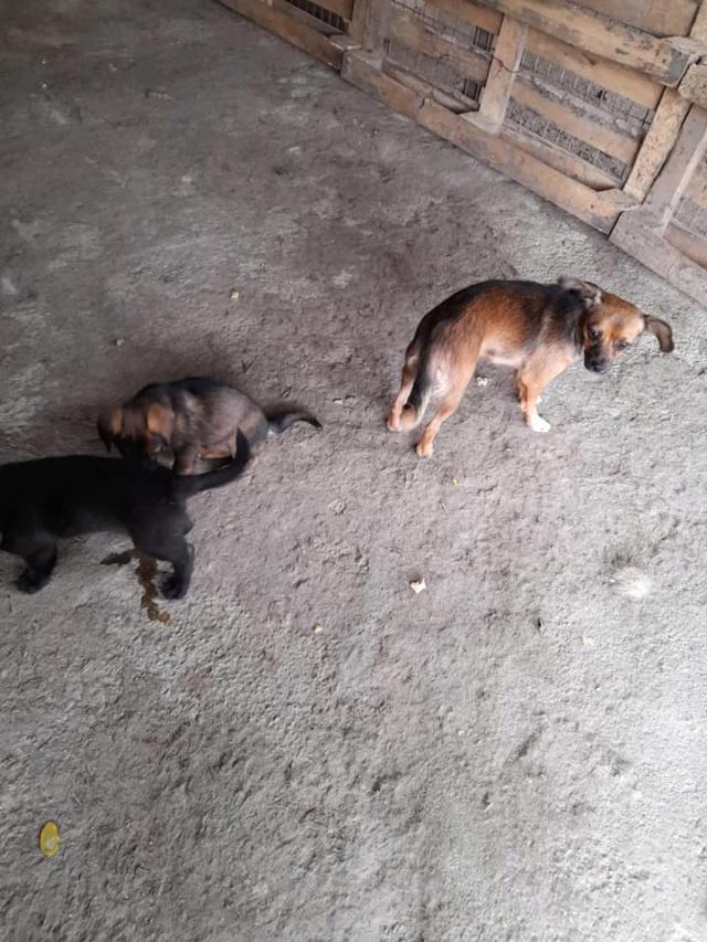 ZIYA, maman , née en 2019 et ses 2 chiots âgés de 2 mois, abandonnés par un particulier-R-SC 24100513