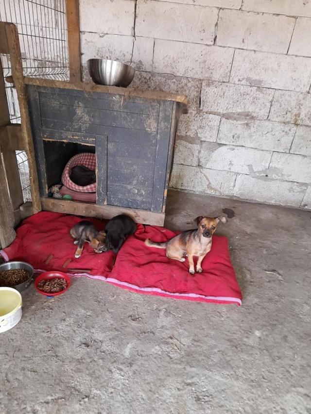 ZIYA, maman , née en 2019 et ses 2 chiots âgés de 2 mois, abandonnés par un particulier-R-SC 24102210