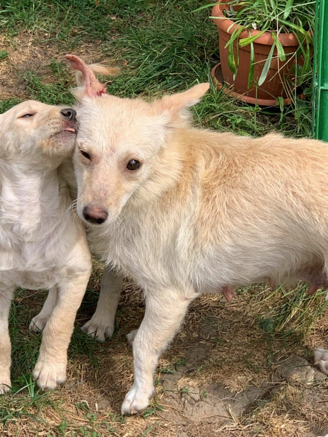 Timaya, née en 2019, Maman et ses 3 chiots attrapés au bord de la route - Parrainée par Jeena - EN GARDE EXTERIEURE-R-SC 24202313