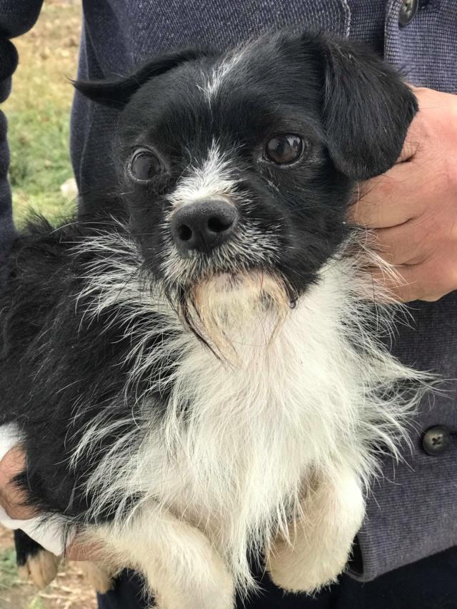 PICOLO - petit chien noir et blanc 7 ans - Asso Arche d'Eternité - Lenuta (Roumanie) 46366210