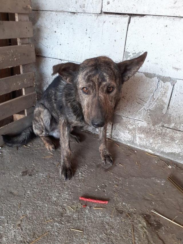 ARRY, mâle né en 2013, récupéré suite à l'avis d'expulsion du refuge de Radu- marrainé par Bouffy-R-SC-SOS Arry210