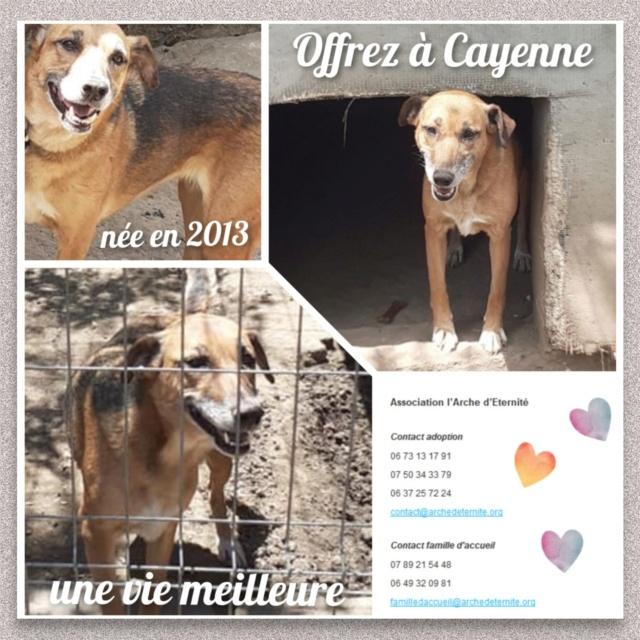 CAYENNE, femelle, née en 2013 - SAUVÉ DE L'EQUARRISSAGE DE MIHAILESTI avec SEVEN - parrainée par NénéSC-SOS-R-SC Cayenn14