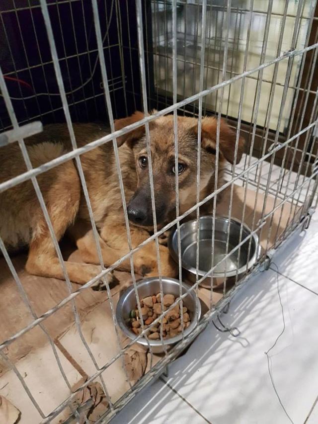 NAMI, croisé berger, soeur de Taliya et Ouzo, trouvée dans la rue en mai 2018- marrainée par Guyenne -R- Frere210