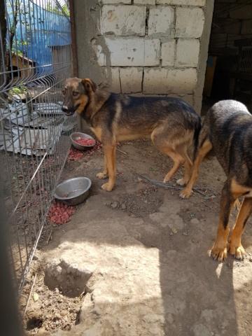 NAMI, croisé berger, soeur de Taliya et Ouzo, trouvée dans la rue en mai 2018- marrainée par Guyenne -R- Nami_410