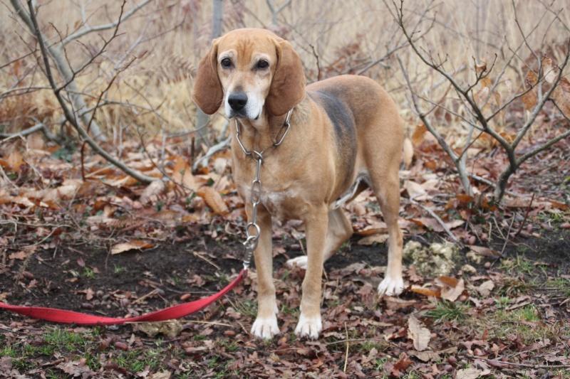 ADELE, croisée beagle femelle, 7 ans (40) Img_9610