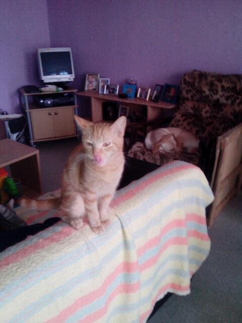 Miélo, chat roux, né le 12 mai 2012, identifié JFM367 Img_2011