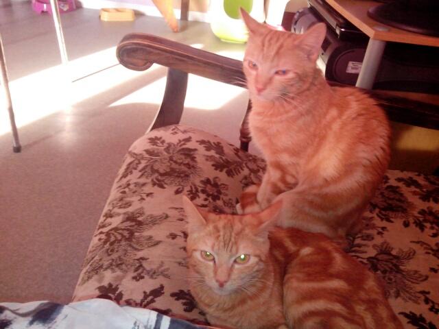 Miélo, chat roux, né le 12 mai 2012, identifié JFM367 Img_2012