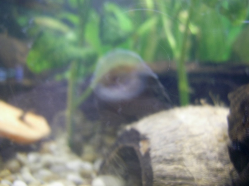 My Disappearing Bristlenose Pic_0613