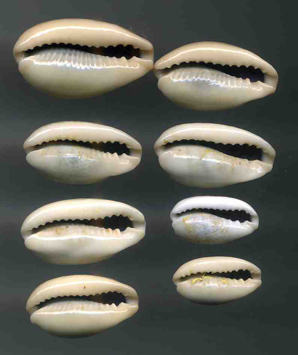 Erronea errones - (Linnaeus, 1758) Errone13