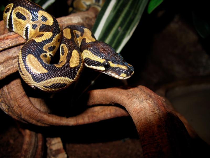 Mon Python Régius Img_2220