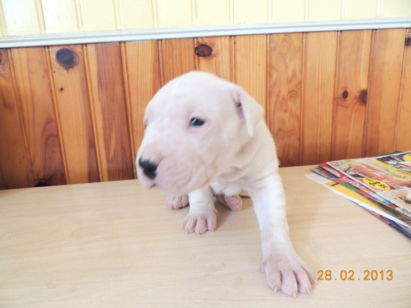 Les dogues Argentin - Page 3 Male_b11