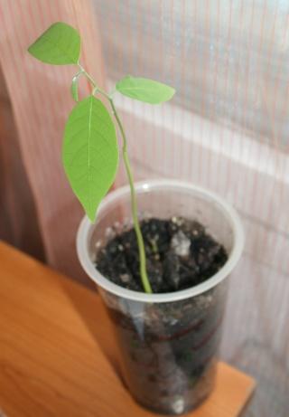 """la culture, germination de l'annonier -pomme cannelle (attier, sugar apple) -""""Annona squamosa """" Germin10"""