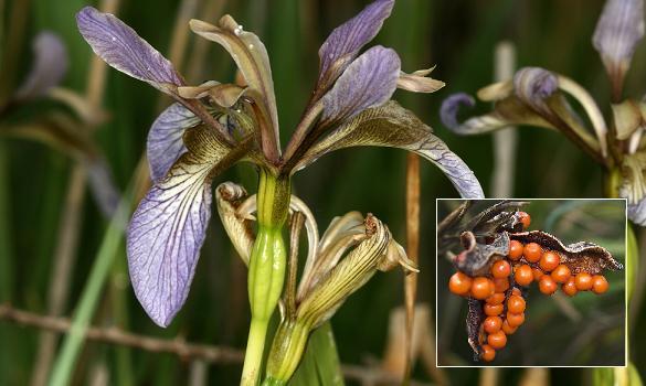 Iris Iris-f10