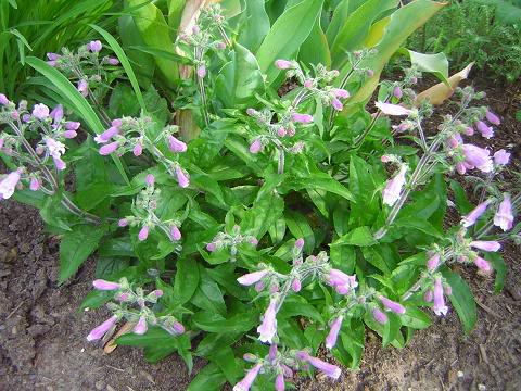Penstemon Penste10