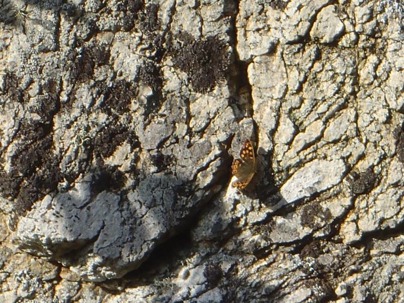 papillons précoces P2160510