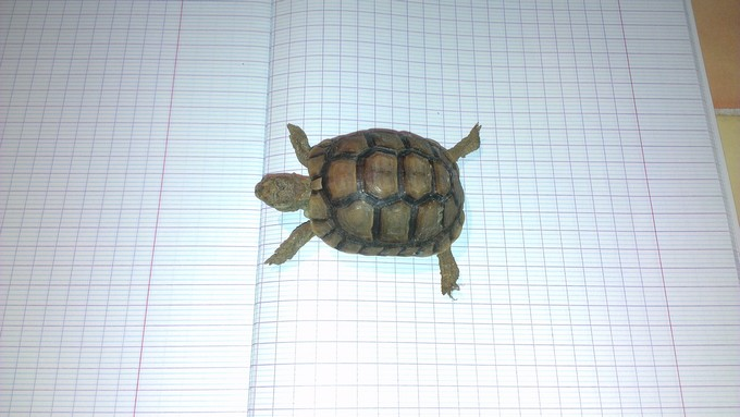 Petite tortue recueilli besoin d'infos Imag0010