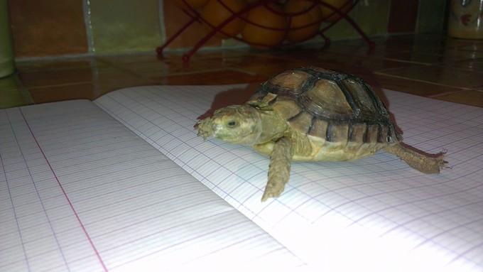 Petite tortue recueilli besoin d'infos Imag0011