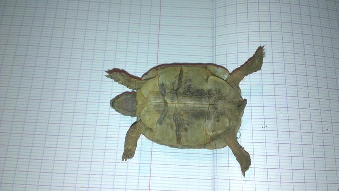 Petite tortue recueilli besoin d'infos Imag0012