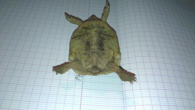 Petite tortue recueilli besoin d'infos Imag0013