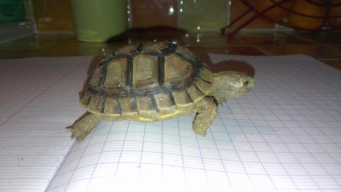 Petite tortue recueilli besoin d'infos Imag0016