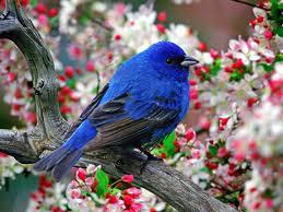Sve vrste Ptica - Page 3 Plava_10