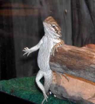 Here Lizard-Lizard! Bearde11