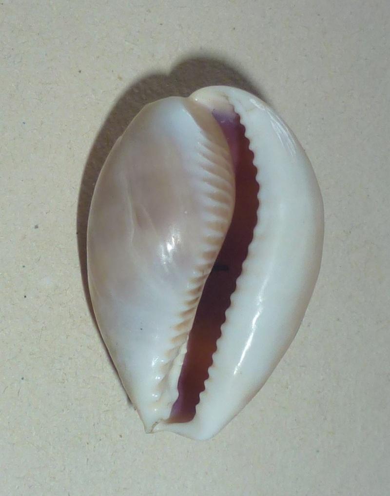 Lyncina vitellus - (Linnaeus, 1758) - Juvénile 1048_v10