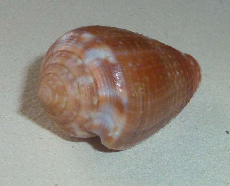 Conus (Pionoconus) catus   Hwass in Bruguière, 1792 - Page 3 1126_s10