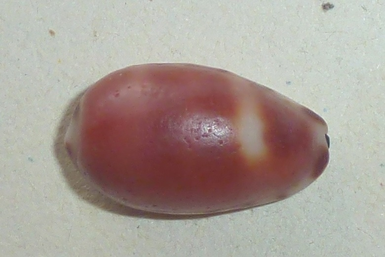 Cypraea felina Gmelin, 1791 accepted as Melicerona felina (Gmelin, 1791) Cyprae14