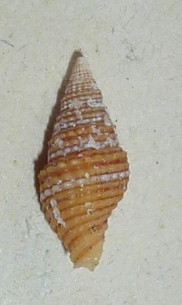 Vexillum crocatum - (Lamarck, 1811) Mitrid39