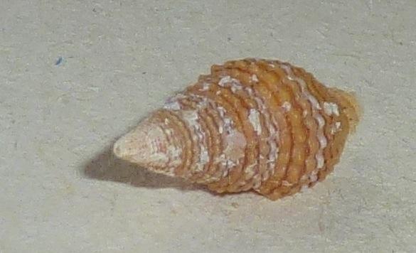 Vexillum crocatum - (Lamarck, 1811) Mitrid40