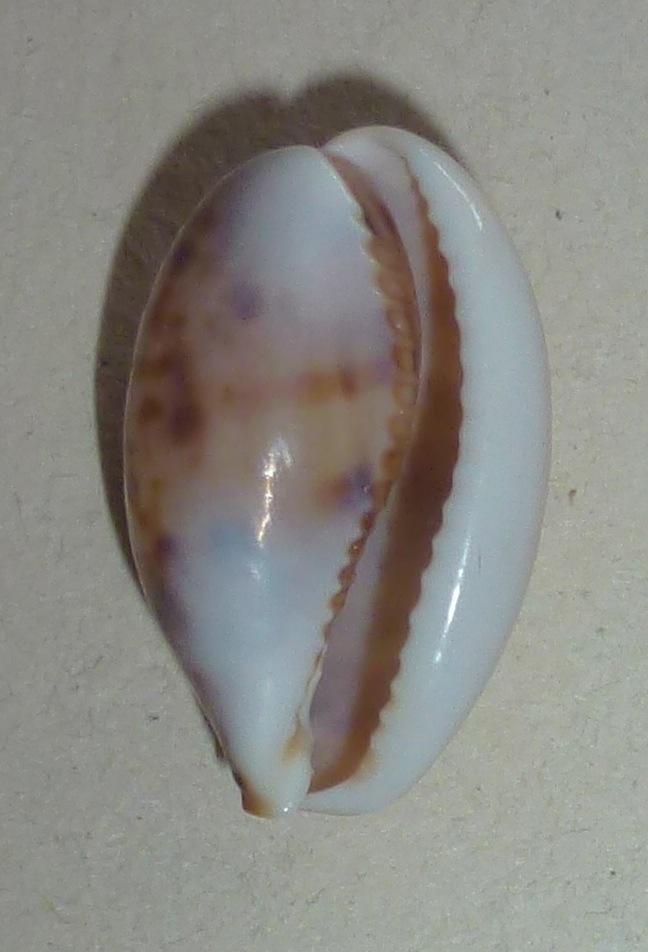 Lyncina lynx - (Linnaeus, 1758) - Juvénile P1030311