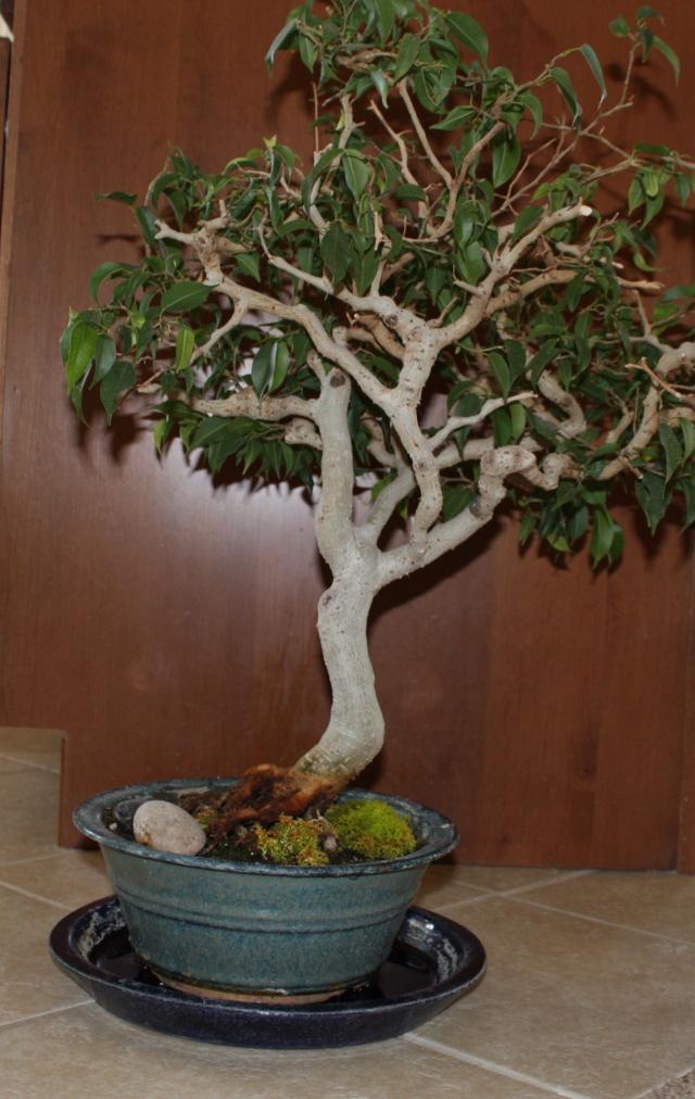 Ficus Identification Ficus_10