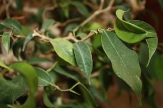 Ficus Identification Img_1623
