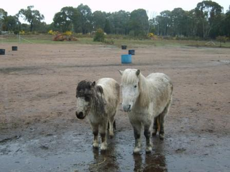 Post your FUNNIEST Miniature equine photo 13th_s10