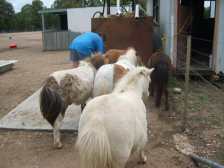 Post your FUNNIEST Miniature equine photo S8000912